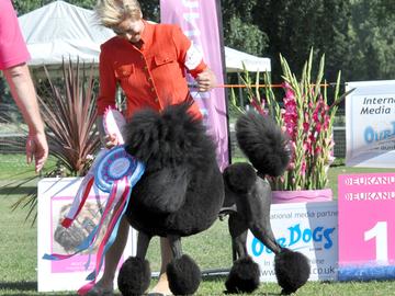 Koiranäyttelyissä ei tunneta tallimääräyksiä – näyttelykoirakisassa herkullinen tilanne