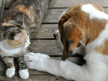 Onko koira fiksumpi kuin kissa?