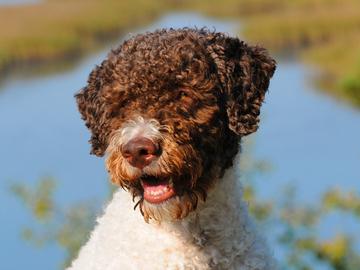 Geeniperimän samankaltaisuus avaimena – tutkimalla koiraa autetaan ihmisiä