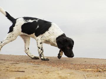 Koirat tunnistamaan Parkinsonin tauti jo alkuvaiheessa