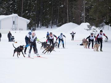Lähes sata koirakkoa valjakkohiihdon SM-kisoissa