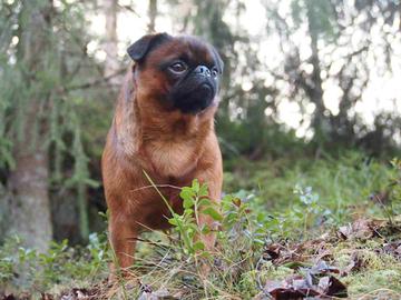 Griffon on taskuraketti; aktiivinen, haukkuherkkä ja koirasosiaalinen