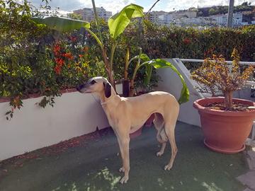 Koiran ulkoilutus sallitaan vielä Espanjassa