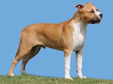 Tappelukoirien kontolla liki 40 % koirahyökkäyksistä