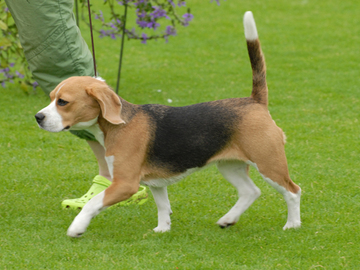 Ihminen voi elää 130 vuotta? – dna-kokeet tehdään beagleilla