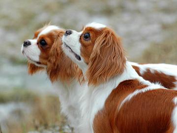 Koiranjalostuksen eettisyys selvitetään oikeudessa Norjassa