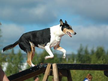 Koirakokeiden suosio ennallaan