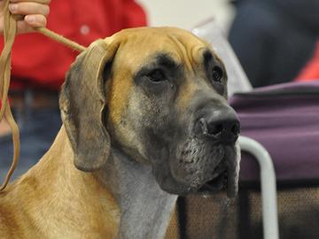 Tanskandoggien avulla löytyi uusi geenialue
