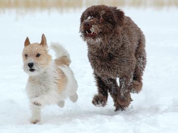 Onko pienten ja isojen koirien käytöksessä eroa?