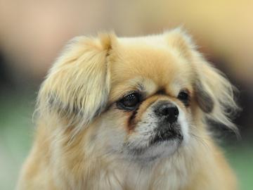 Koiran hyvinvointia haittaavan jalostuksen rajanveto vaikeaa