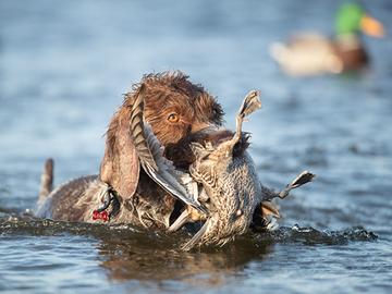 Uhanalaisten metsästyskieltoa ajava kansalaisaloite eduskuntaan