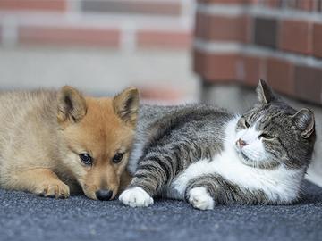 Koiranomistaja avioituu kissanomistajaa herkemmin