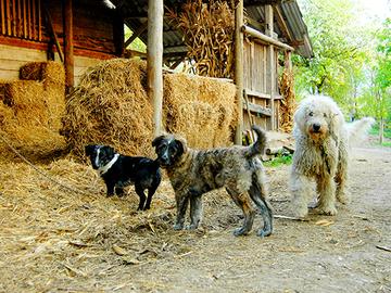 Koiria ehkä jo miljardi – irtokoirista yhä isompi haitta