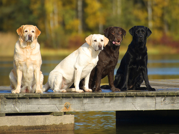 Ruskeiden labradorinnoutajien elinikä jää lyhemmäksi