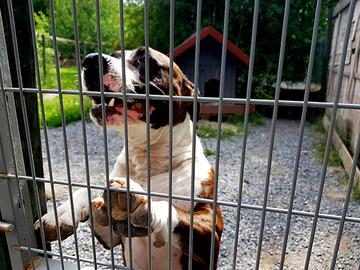 Uusi laki velvoittaa tekemään ilmoituksia koirakilpailuista