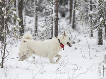 Suurpetojen aiheuttamat koiravahingot aiotaan korvata täysin