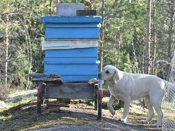 Mehiläiskoira Mack pelastaa pölyttäjiä