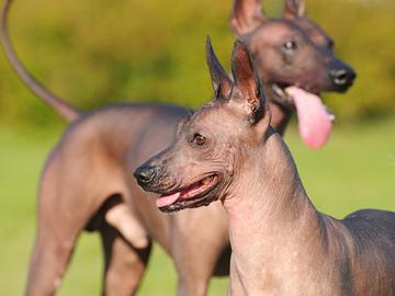Itävallassa eivät kaikki koirat pääse enää näyttelyyn