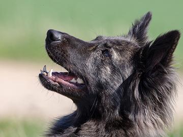 Hollanninpaimenkoira on kursailematon harrastuskoira