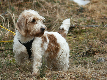 Petit basset griffon vendéen on iloinen maastomenijä