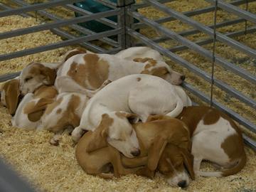 Rescuekoirien tuontiin liittyy eläintautien leviämisen vaara