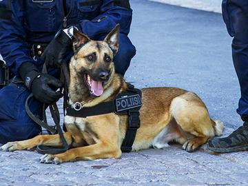 Kiinassa kloonatusta koirasta alle vuodessa poliisikoira