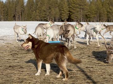 Koirien käyttöä porotöissä halutaan lisätä