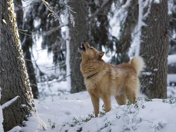 Nostaako metsästyskauden pidennys pikinokan uuteen nousuun?