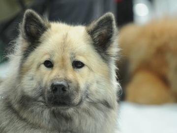 Kennelliitto vaatii lakia kaikkien koirien rekisteröinnistä