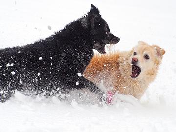 Pyri estämään koirien tappelu
