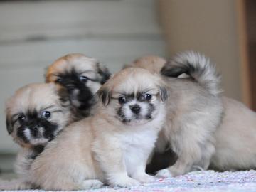 Kennelliitto: Eläinsuojelulain turvattava koirien pienkasvatus