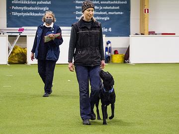 Jättiyllätys: labradorinnoutaja Suomen tottelevaisin