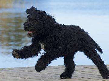Hyviä uutisia koiranpitoon: kaikki sirutetaan ja rekisteröidään