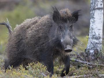 Kysely suomenajokoirien metsästysominaisuuksista
