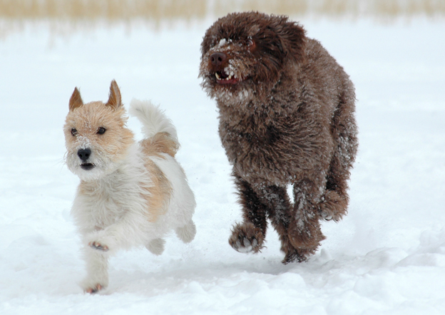 Varaudu pahimpaan: Nämä koirat eivät elä vanhoiksi – Lyhytikäisten koirien rotuvaivoina hengitysvaikeuksia, syöpää ja mahalaukunkiertymistä